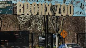 Tigers, lions catch COVID-19 at New York zoo: What that means for your pets' risk