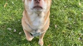Foster pleads for adopter to come forward for 'demonic' chihuahua in hilarious post