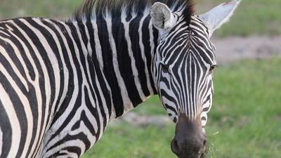 Escaped zebra in Maryland killed by illegal trap
