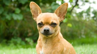 Couple finds pet Chihuahua hiding inside luggage at airport
